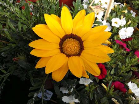 colour: Yellow daisy in the garden Stock Photo