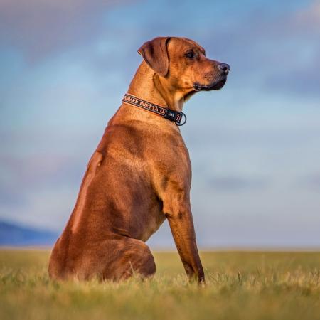 ridgeback: ridgeback dog