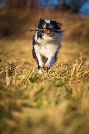 fetch: border collie dog