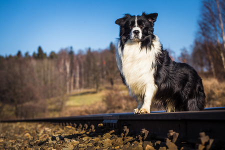 border collie dog photo