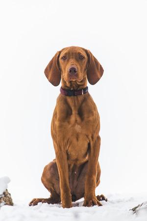 Hungarian hound dog Banco de Imagens