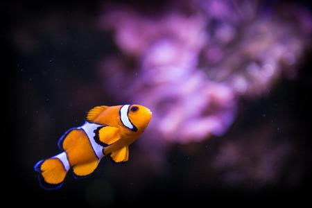 nemo: fish nemo