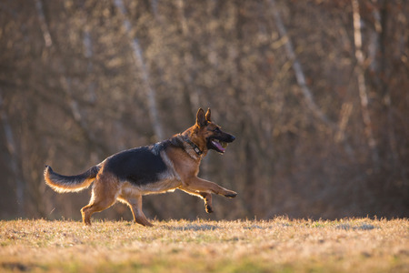german shepherd dog: German Shepherd Dog
