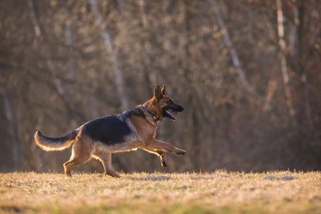 german shepherd: German Shepherd Dog