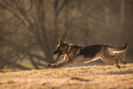 Deutsch Shepherd Dog Standard-Bild