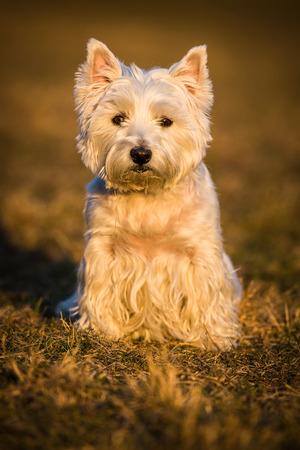 westie dog: westie dog