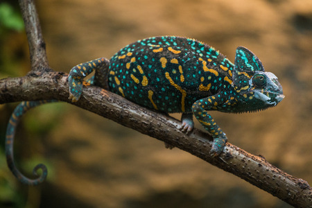 chameleon lizard photo