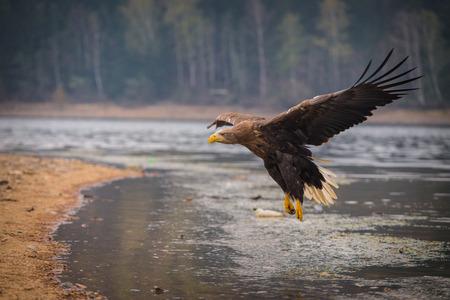 sea eagle bird photo