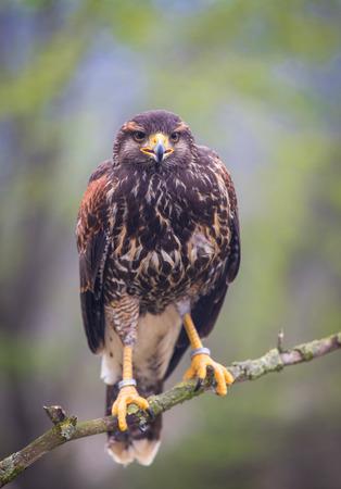 buzzard bird  photo