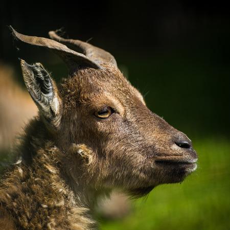 goat horns: young goat horns