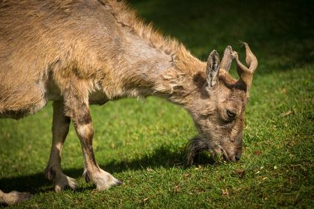 goat horns: goat horns