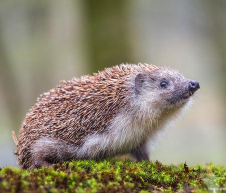 Eastern European Hedgehog Banco de Imagens