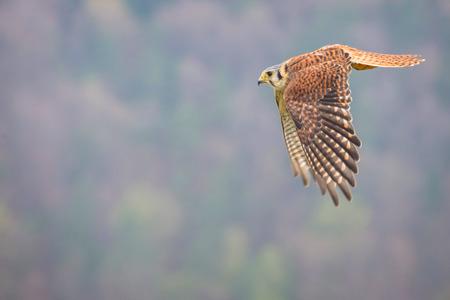 kestrel varied bird  Banco de Imagens