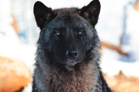Portrait of a black wolf which stares
