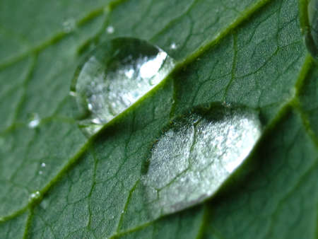 Two drops of water on a surface of green sheet