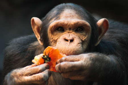The monkey during a breakfast eats orange pepper