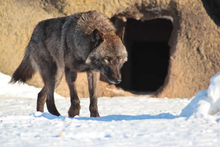 The wolf runs all over vicinities against a stone with a cave in the winter