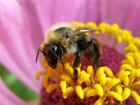 stamens: bee sits on the stamens pink zinnias and pollinates it Stock Photo