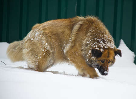 fluffy red dog gently on the snow comes Stock Photo - 9139785