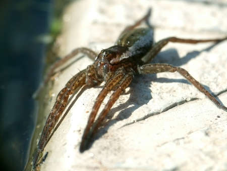 arachnids: puck Dolomedes fimbriatus is resting on the shore