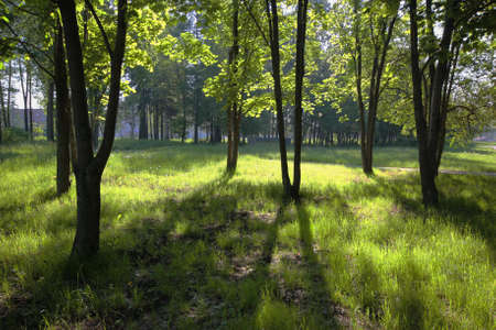 morning shadows of the trees in spring park