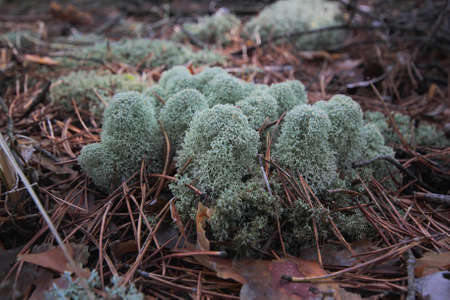 underbrush: fruticose lichens