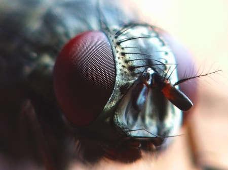macrocosm: Flesh fly Stock Photo