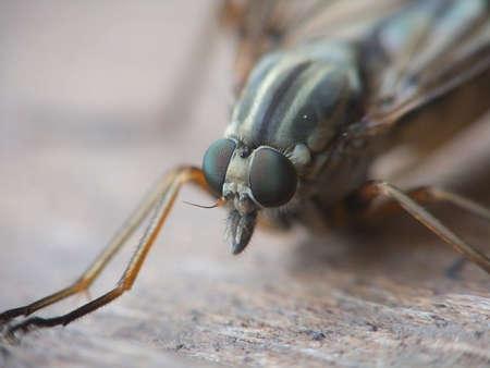 asilidae: eyes Asilidae