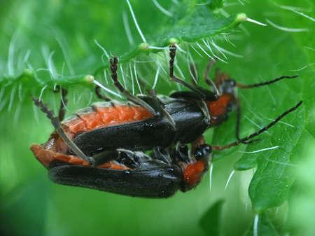 elateridae: Cardiophorus rufitsollis