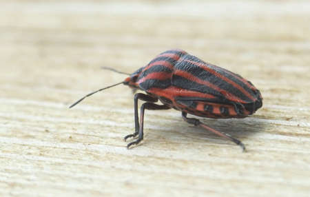 graphosoma: Graphosoma lineatum Stock Photo