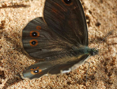 lepidoptera: butterfly, Lepidoptera, Satyridae