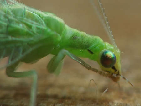 chrysopidae: lacewing ordinary, compound eyes