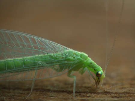 lacewing ordinary, compound eyes