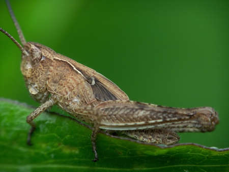 gray grasshopper Stock Photo