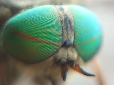 compound eyes: compound eyes gadfly