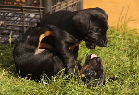 Dachshund puppies play with each other