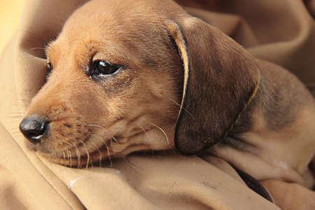red-haired dachshund puppy in an orange blanket