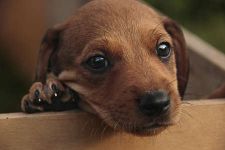 red-haired dachshund puppy looks at the photographer Stock Photo