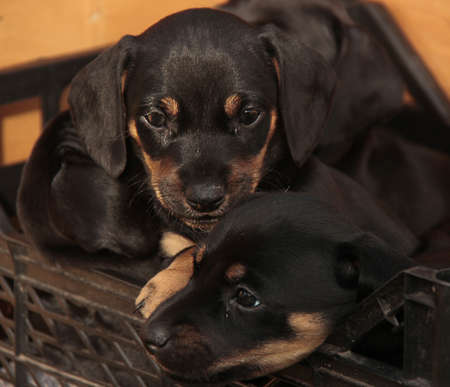 dachshund puppies in a box Stock Photo
