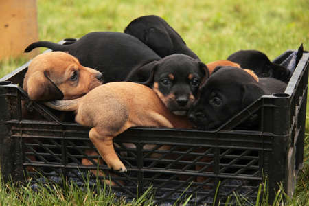 red and black dachshund puppies in a basket