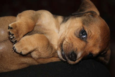 red-haired dachshund puppy lay belly up