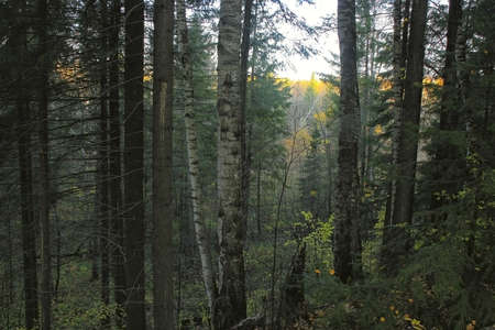view of the low ground through the spruce forest in the morning Stock Photo