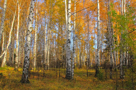 birch grove autumn morning Stock Photo