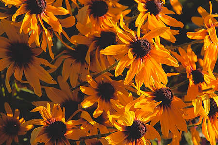 Background color of coreopsis