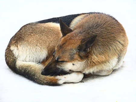 curled in a ball sleeping dog Stock Photo