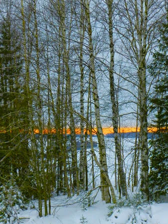 winter sunset through a number of birch trees