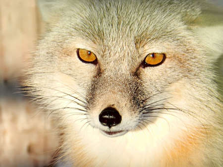 white fox s head with yellow eyes