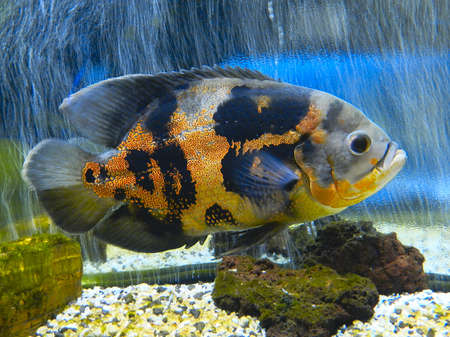 astronotus: astronotus of air bubbles
