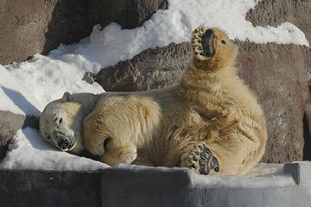 Polar Bear is on a snowdrift