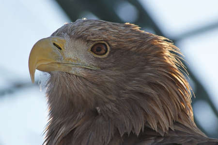 eagle s head